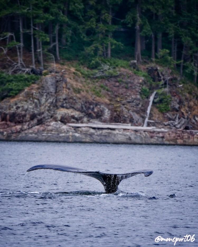 Baleine Vancouver Island 2