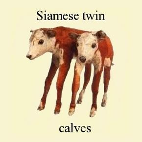siamese-twin-calves