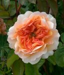 Rosa Port Sunlight, a David Austin rose;  Merty's Rose