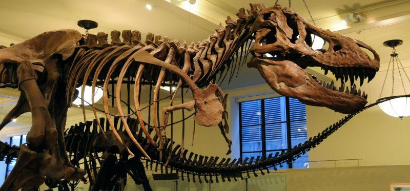 Scheletro T-Rex in un museo