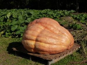 The Dill's Atlantic Giant Pumpkin is the world's largest pumpkin and featured in festivals and competitions around the world.