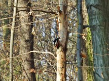 Woodpecker!