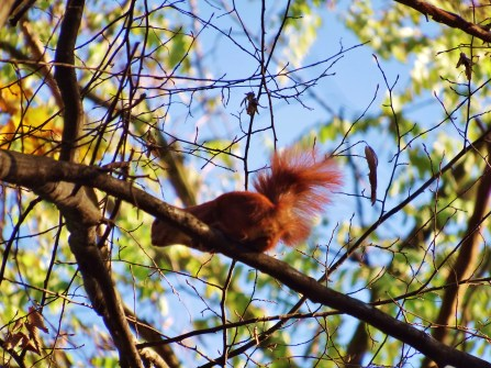 Red squirrel!