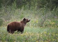 Historic Cabinet-Yaak Grizzly Migration Highlights Management Challenges