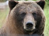 Grizzly Populations 'Recovered,' Not Ready for 'De-listing'