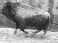 End of the Trail for Yellowstone Bison