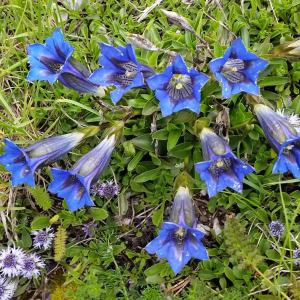 Gentian, gentiana, mountain flowers