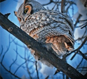 Photo Contest: Great Horned Owl, by Rebecca Behrent