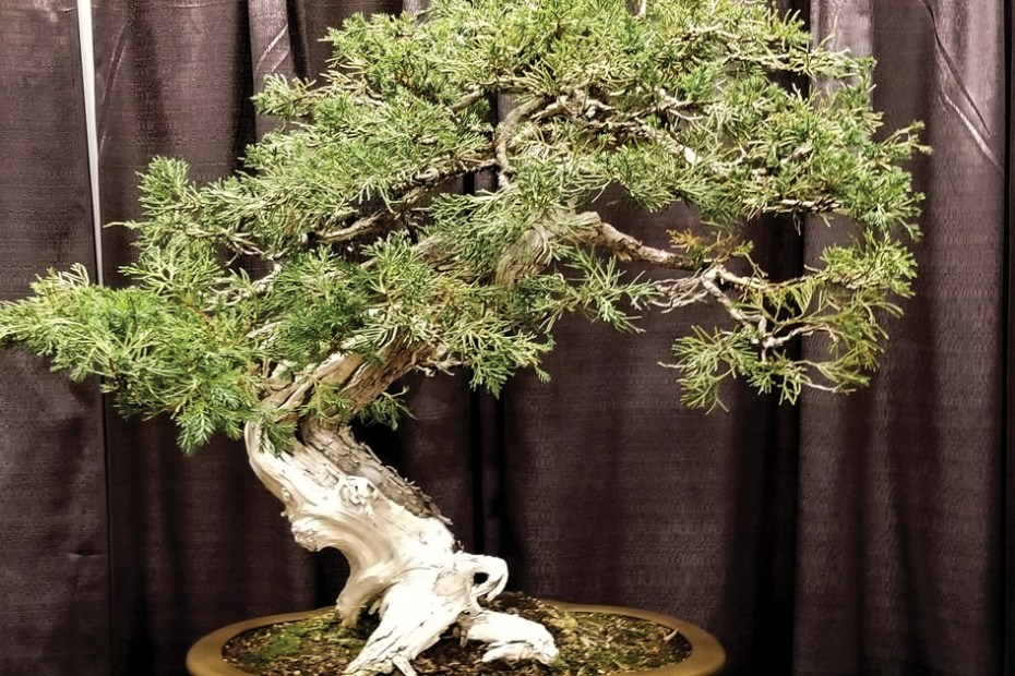 MSN - Bonsai