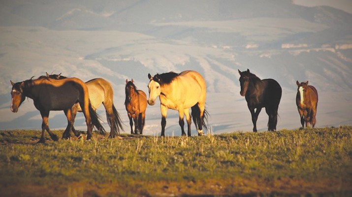 MSN-Pryor Mountain Horses