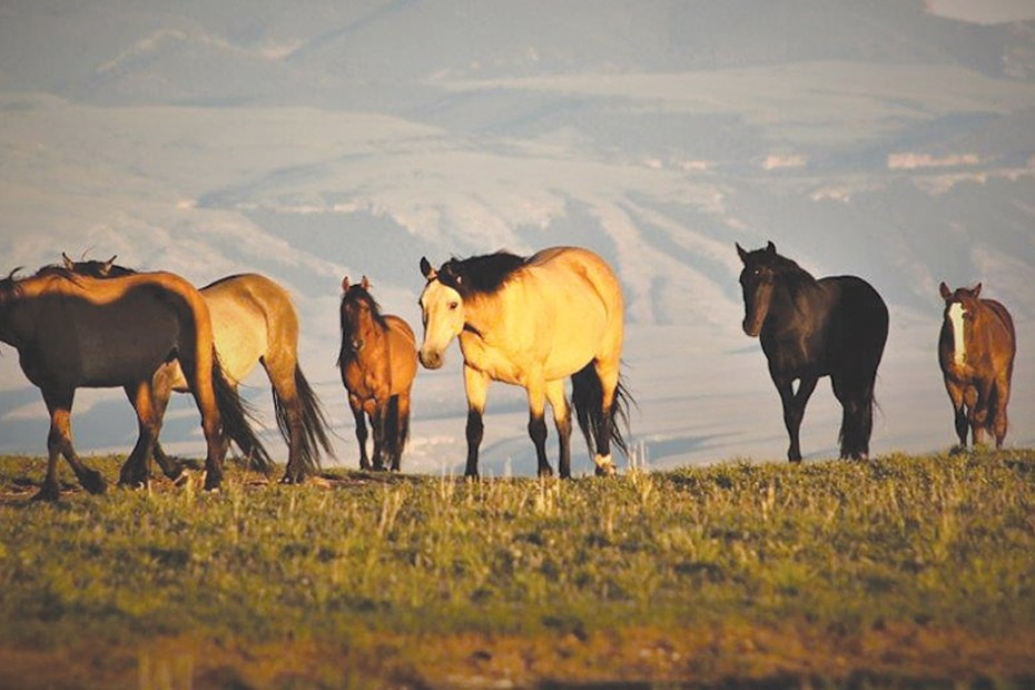 MSN-Pryor Mountain Horses