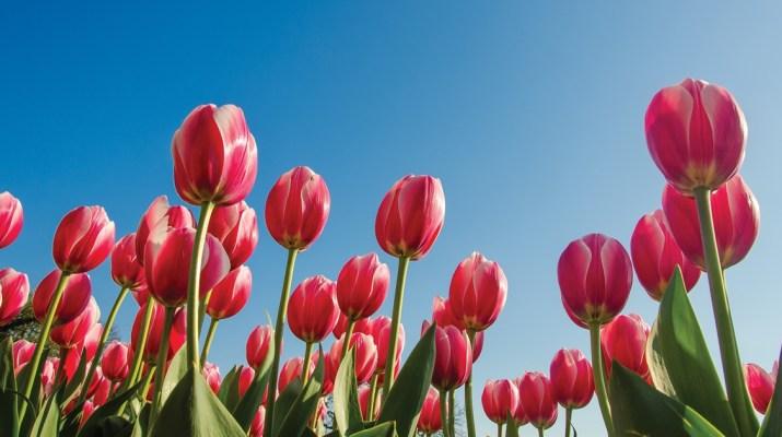 MSN - Tulip Time