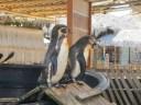 Pinguinos en valdivia