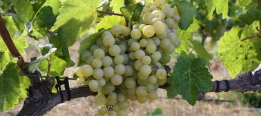 slideshow-grapes