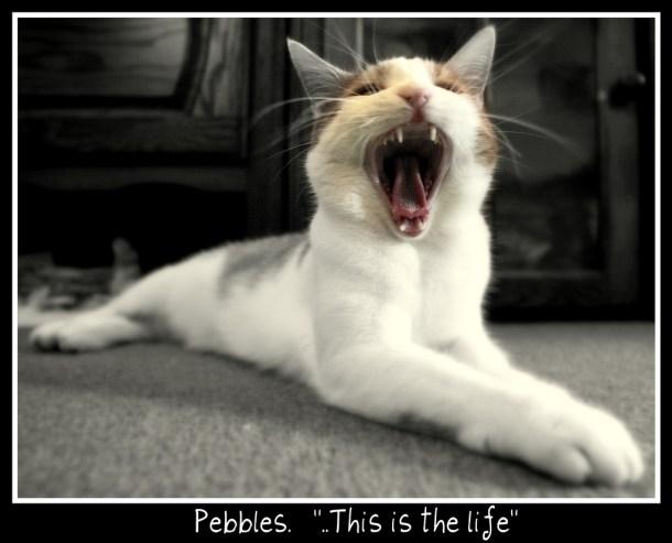 chat-ouvre-la-bouche