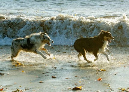 two dogs running along shore (carmel)