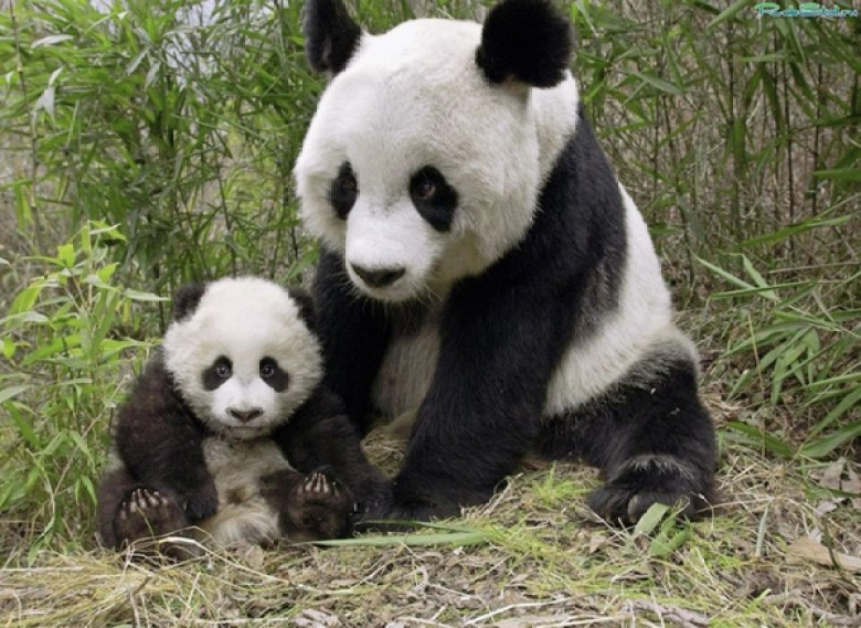 PANDA WITH A BABY