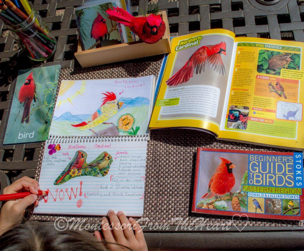 Northern Cardinal Bird Nature Journaling