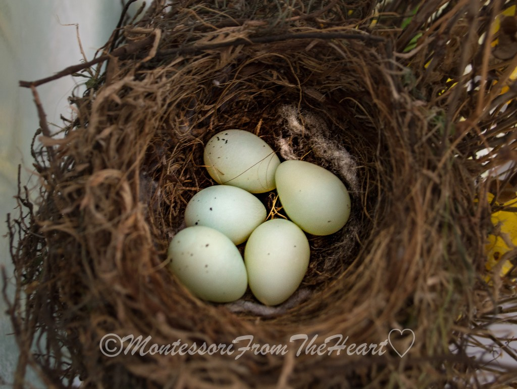 House-Finch-Eggs-Nest
