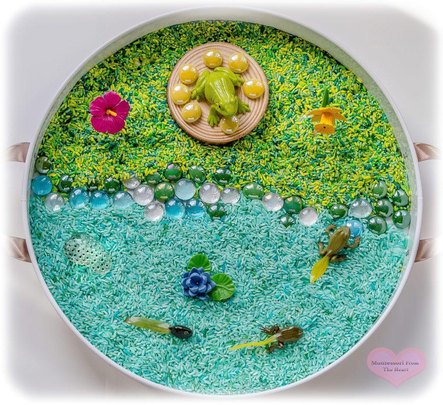 Frog-LifeCycle-SafariLTD-Rice-Kmart-Tray