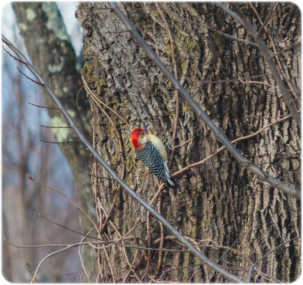 Woodpecker-Nature-Journaling