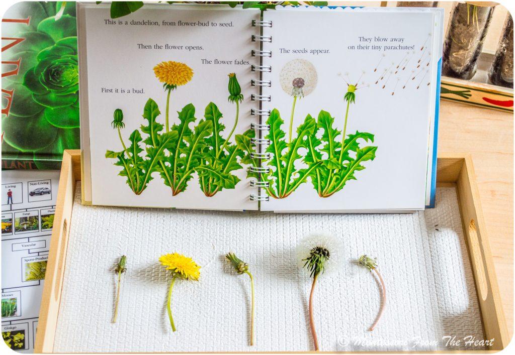 Dandelion-Botany-Books