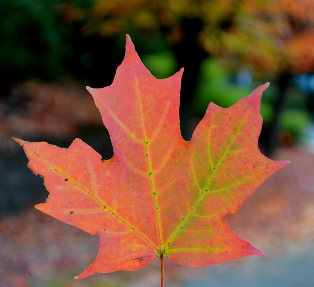 DSC_0197-001*FB & Page:Insg-Maple Leaf