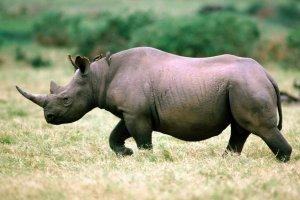 rhinocéros 2