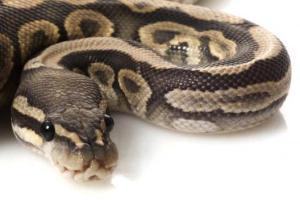 serpent 2