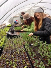 LCMCS middle school students thinning seedlings for the farmers' market