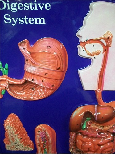 DIGESTIVE SYSTEM MODEL SCIENCE-A44