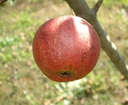 Browns Apple