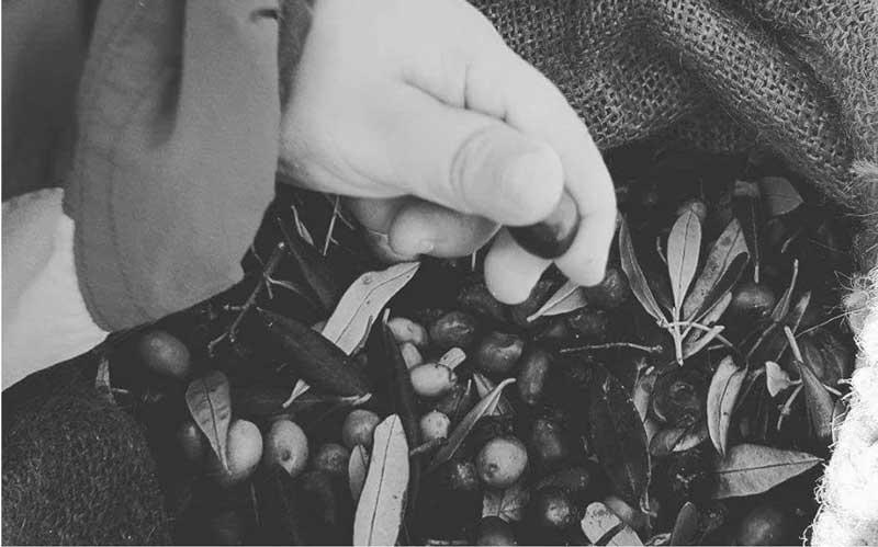 agriodimas-olives