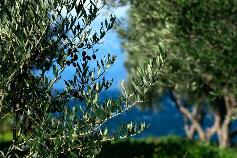 bozas---olive--grove