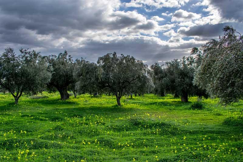 olive--grove
