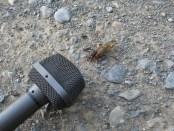 Cicada and microphone