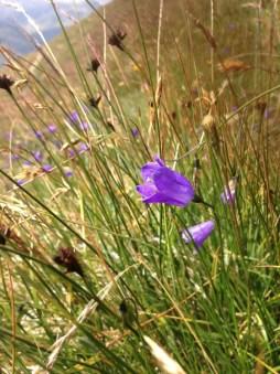 Gornergrat's purple flowers