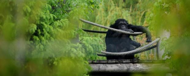 Chimps Resident Fauna Foundation. Photo Joanne MacArthur