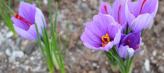 Organic Saffron – a start