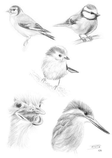 Esbossos de diversos d'ocells | Esbozos de pájaros de varios pájaros | Some bird sketches