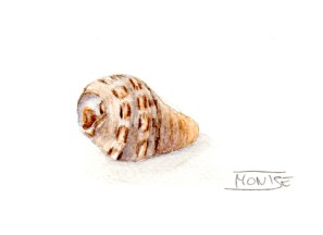 Cargolina | Caracolillo | Winkle