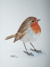 Pit-roig (pas a pas 4) | Petirrojo (paso a paso 4) | European Robin (step by step 4)