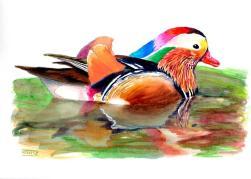 Ànec mandarí | Pato mandarín | Mandarin Duck