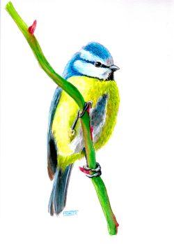Mallerenga blava (Cyanistes caeruleus). Aquarel·la. | Herrillero común (Cyanistes caeruleus). Acuarela. | Eurasian Blue Tit (Cyanistes caeruleus). Watercolour.