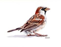 Pardal comú. Passer domesticus. House Sparrow. Gorrión común. Aquarel·la. Acuarela. Watercolour.