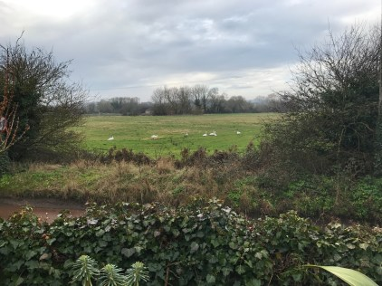 Swans in the Meadow