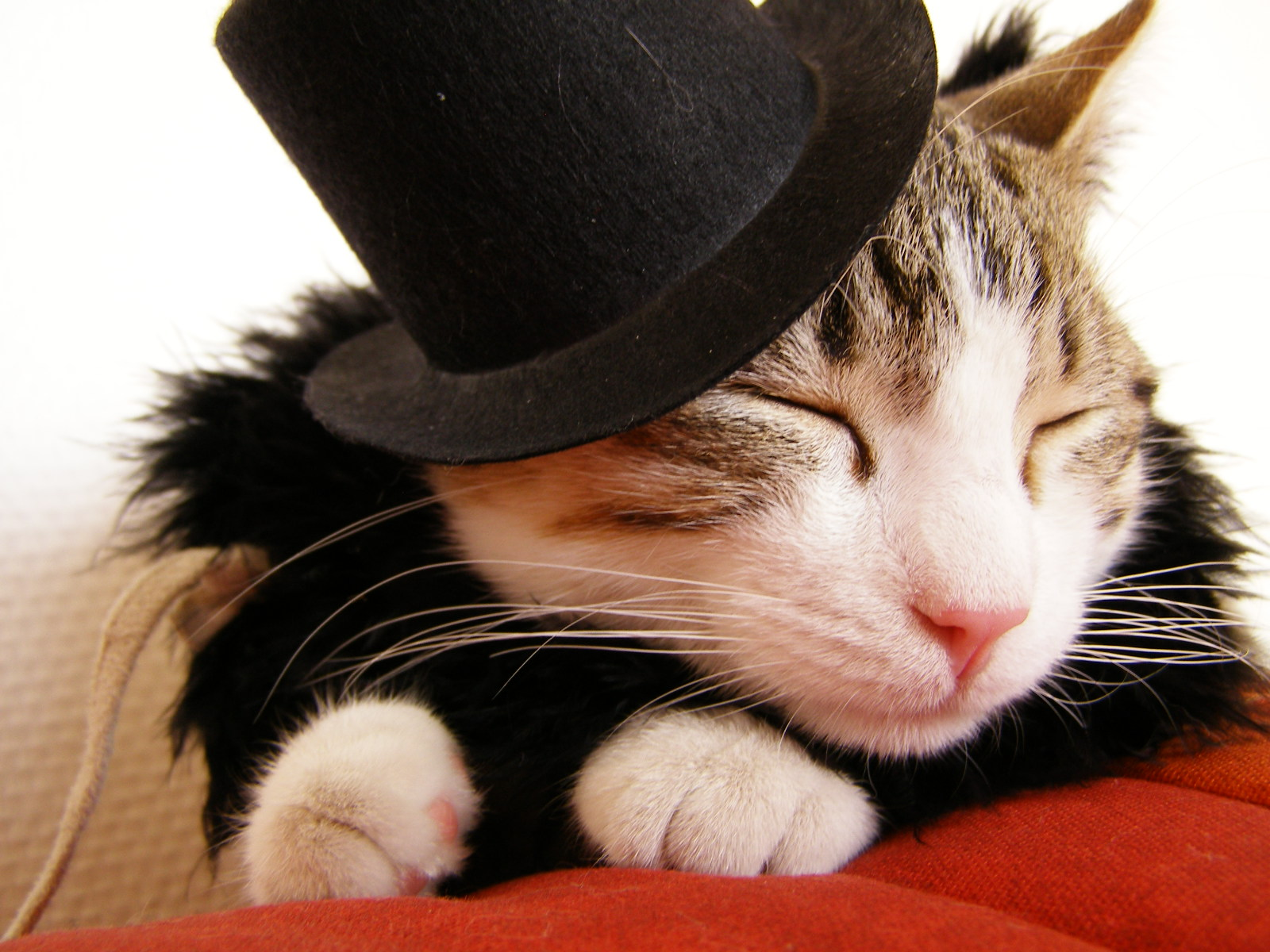 Feline Fashions A Real Cat In A Hat And Worse