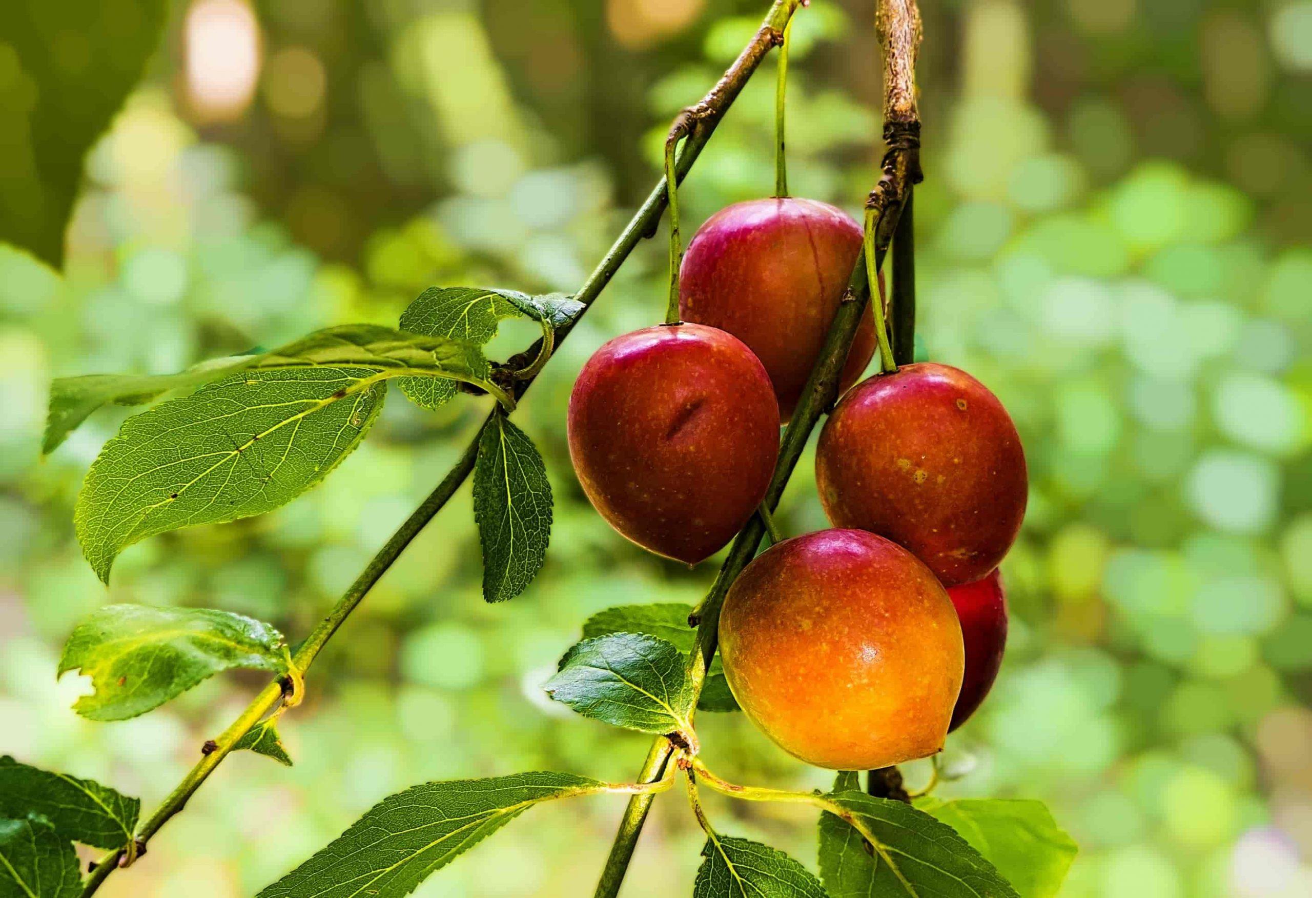 Mookap-manzanas-y-salud