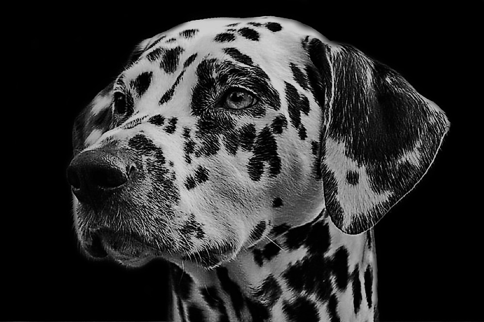 pexels-dalmatians-dog-animal-head vanilla
