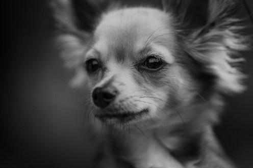 pixabay-dog-2300884 vanilla